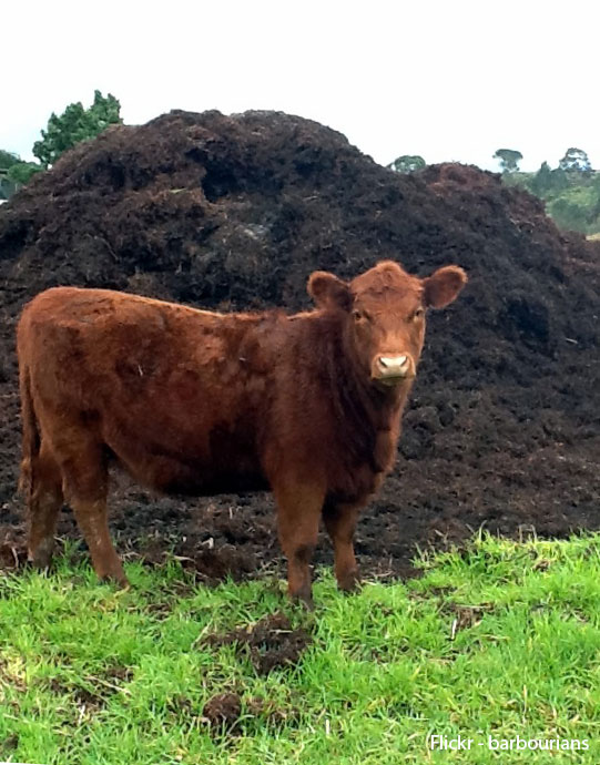 Cow Manure - soils and composts Richmond Sand Gravel and Landscaping. Photo by Flickr user barbourians